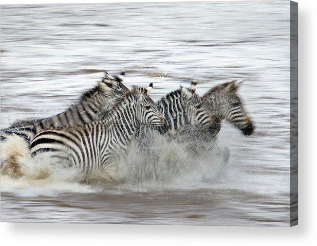 Plains Zebra Acrylic Print featuring the photograph Zebras Crossing The Mara River by Aditya Singh