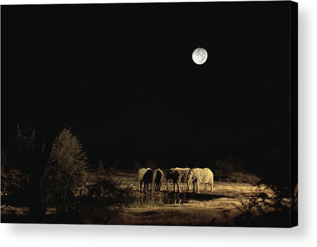 Mp Acrylic Print featuring the photograph African Elephant Loxodonta Africana by Konrad Wothe