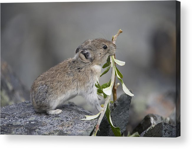 Mp Acrylic Print featuring the photograph American Pika by Michael Quinton