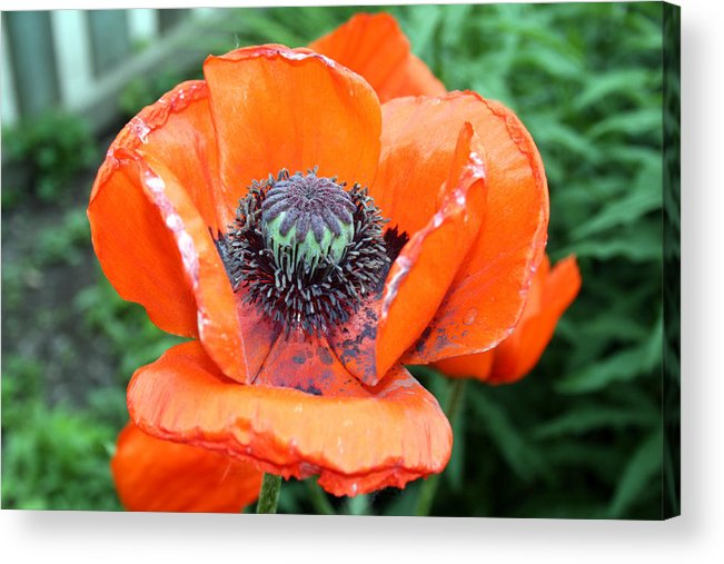 Acrylic Print featuring the photograph California Poppy Two by Alan Rutherford