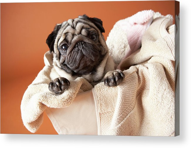 Horizontal Acrylic Print featuring the photograph Dog In Laundry Basket by Chris Amaral