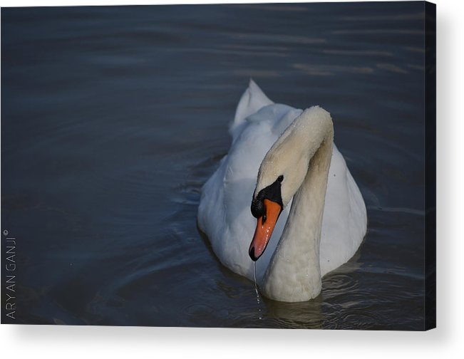 Swan Acrylic Print featuring the photograph Going for a Dip by Aryan Ganji