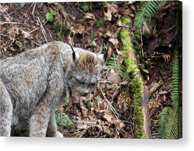 Northwest Trek Acrylic Print featuring the photograph Lynx - 0004 by S and S Photo