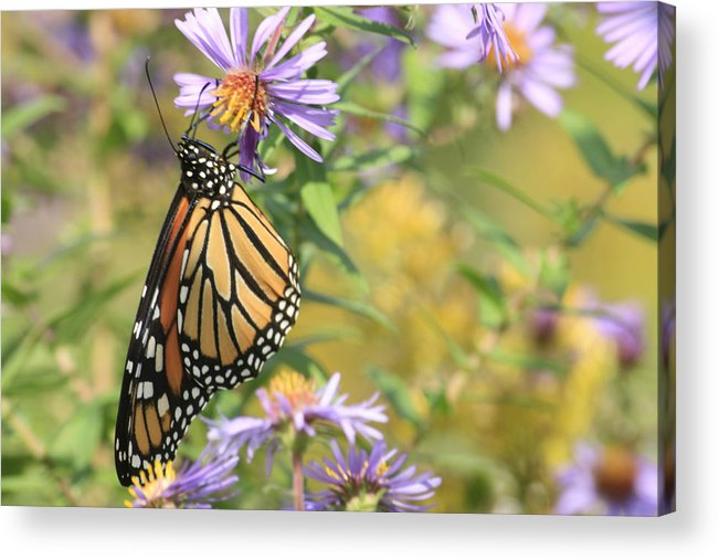 Butterflies Acrylic Print featuring the photograph Monarch profile one by Alan Rutherford