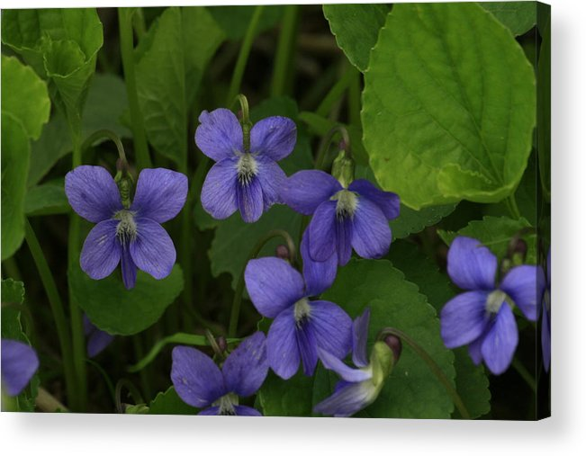 Violet Acrylic Print featuring the photograph Positively Purple by Alan Rutherford