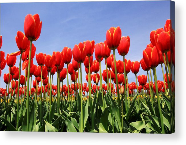 Tulips Acrylic Print featuring the photograph Red Tulips by Kean Poh Chua