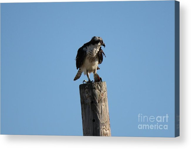 Birds Acrylic Print featuring the photograph The Osprey's First Catch Collection Image IV by Scenesational Photos