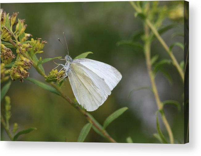 Butterfly Acrylic Print featuring the photograph White Angel by Alan Rutherford