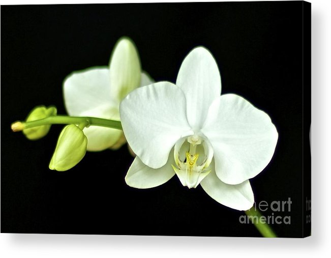 White Orchid Acrylic Print featuring the photograph White Orchid by Mihaela Limberea