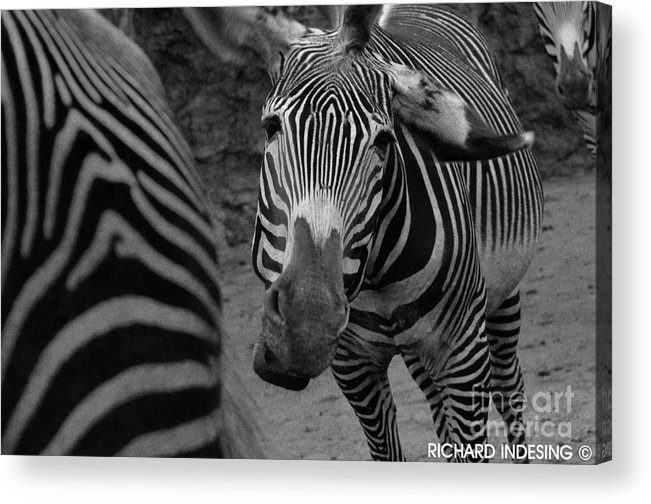 Zebra In Acrylic Print featuring the photograph Zebra Sad by Richard Caicedo