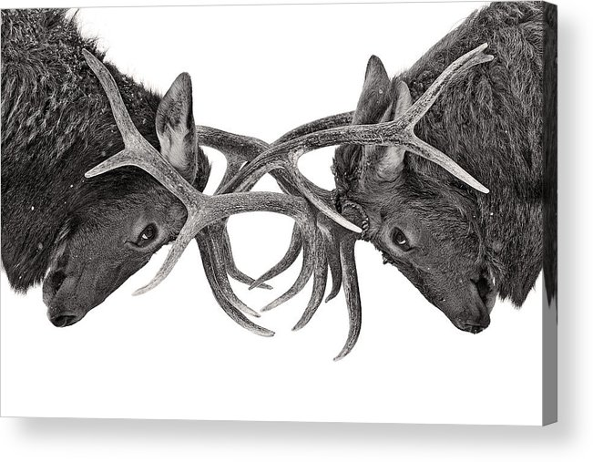 Nature Acrylic Print featuring the photograph Eye to eye by Jim Cumming