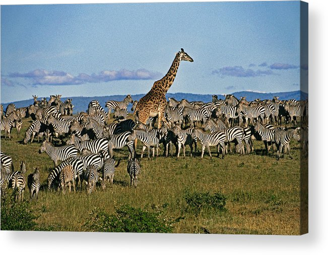 Africa Acrylic Print featuring the photograph Odd Man Out by Michele Burgess