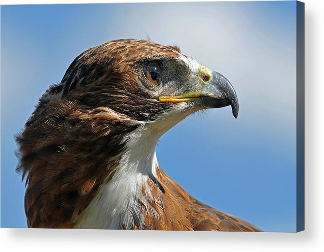 Red-tailed Hawk Acrylic Print featuring the photograph Red-tailed Hawk by Alan Lenk