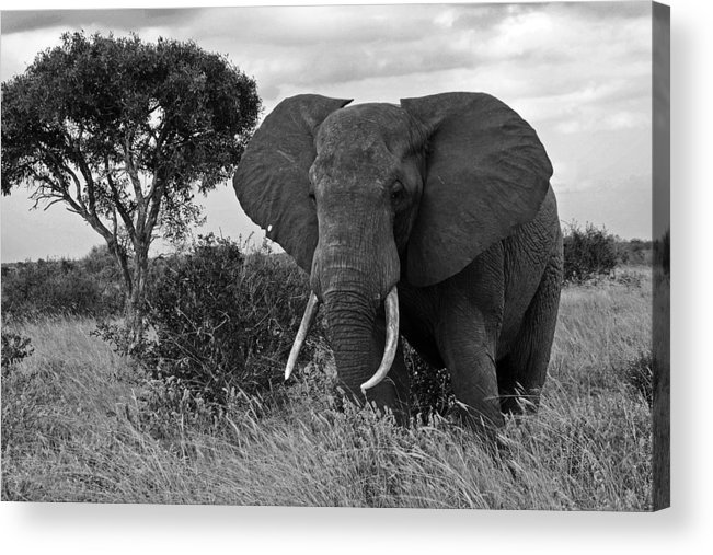 Africa Acrylic Print featuring the photograph The Old Bull by Michele Burgess