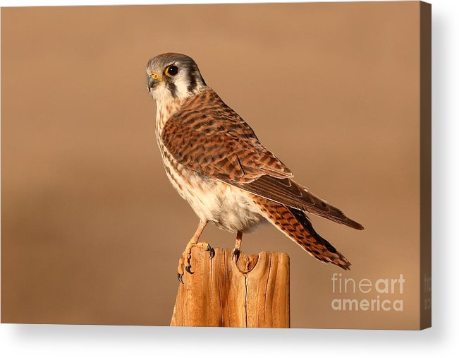 Kestrel Acrylic Print featuring the photograph American Kestrel Surveying The Surroundings by Max Allen
