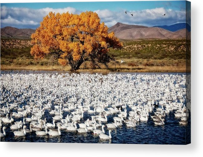Nature Acrylic Print featuring the photograph Annual Snow Geese Meet-up, Bosque Del Apache, New Mexico by Zayne Diamond Photographic