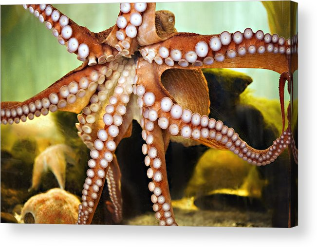 Octopus Acrylic Print featuring the photograph Beautiful Octopus by Marilyn Hunt