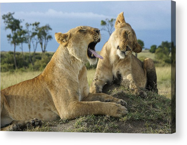 Africa Acrylic Print featuring the photograph Big Blast by Michele Burgess