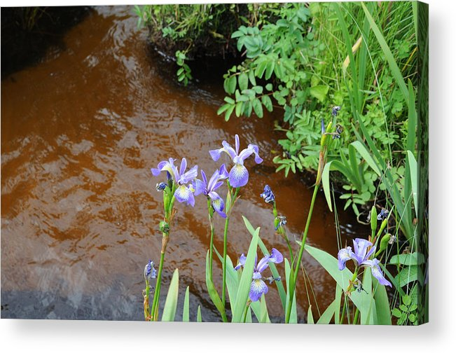 Iris Acrylic Print featuring the photograph Blue Flag Iris by Terese Loeb Kreuzer