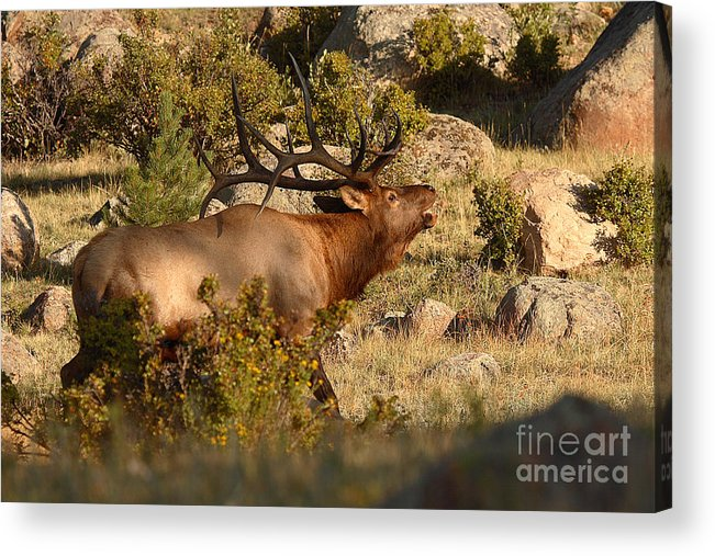 Elk Acrylic Print featuring the photograph Bull Elk Bugling Among The Rocks by Max Allen