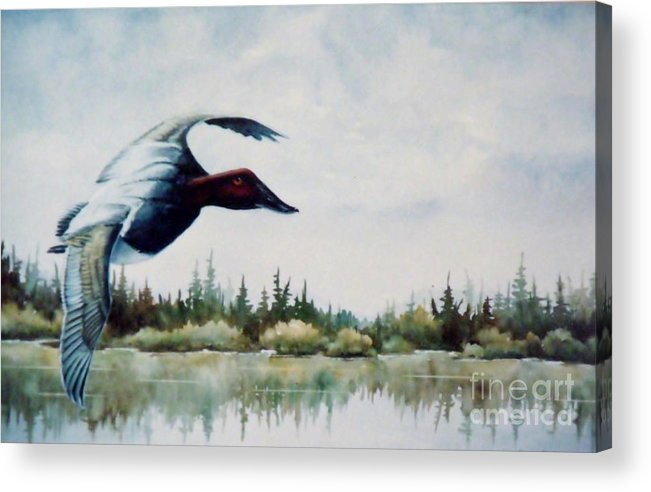 Single Canvasback Over Lake Earl Crescent City Acrylic Print featuring the painting Canvasback Over Lake by Lynne Parker