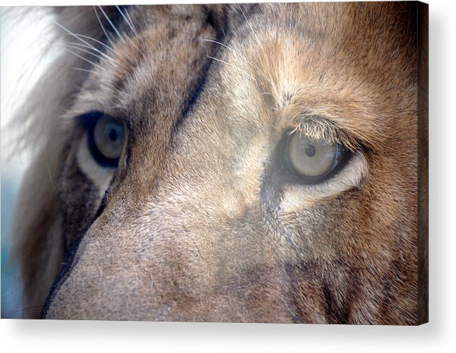 Lion Acrylic Print featuring the photograph Cats Eyes by Lisa Kane
