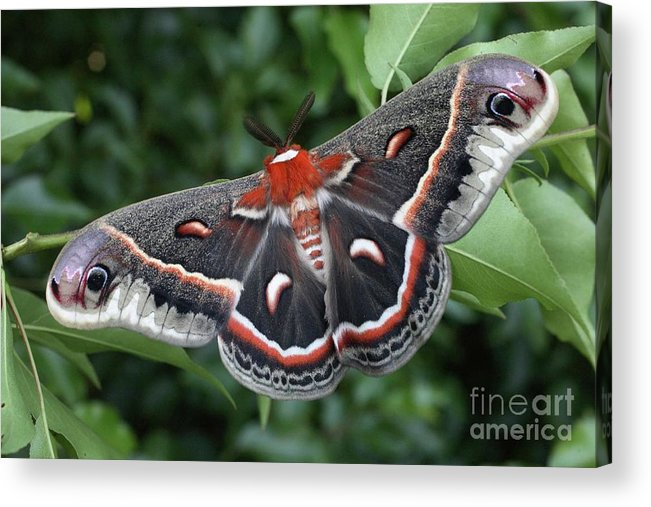 Cecropia Moth Acrylic Print featuring the photograph Cecropia Moth by Matt Cormons