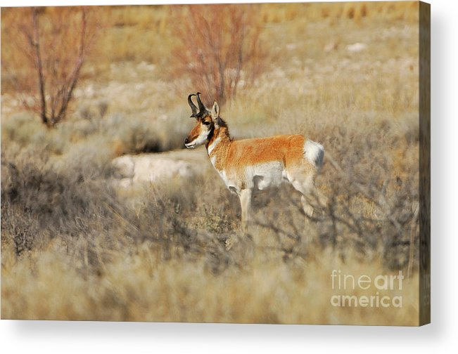 Wildlife Acrylic Print featuring the photograph Desert Pronghorn by Dennis Hammer
