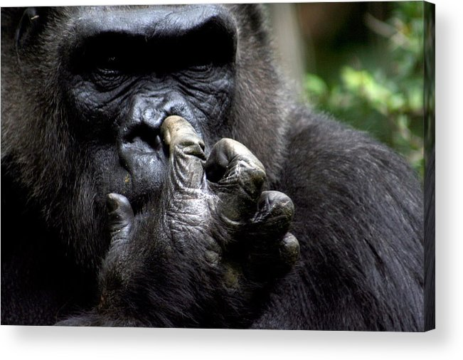 Gorilla Acrylic Print featuring the photograph Digging for Gold by Jason Hochman