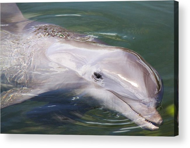 Dolphin Ocean Nature Smart Mammal Smile Acrylic Print featuring the photograph Dolphin by Mitch Cat