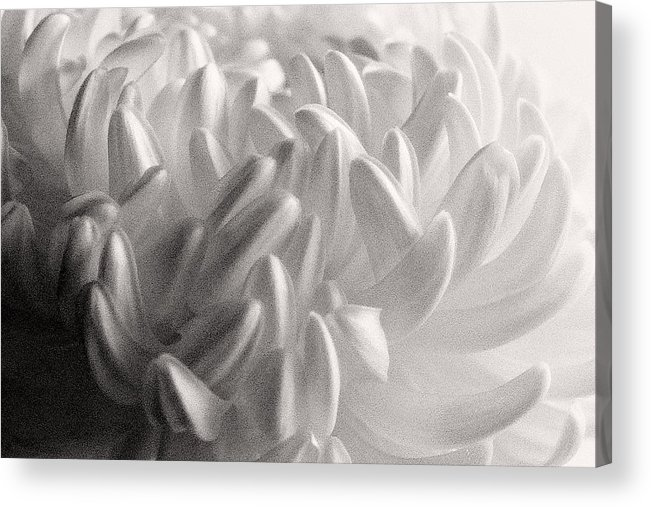 Nature Acrylic Print featuring the photograph Ethereal Chrysanthemum by Zayne Diamond Photographic