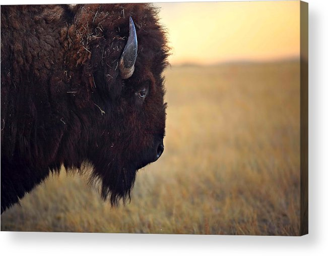 Buffalo Acrylic Print featuring the photograph Face The Day by Deborah Johnson