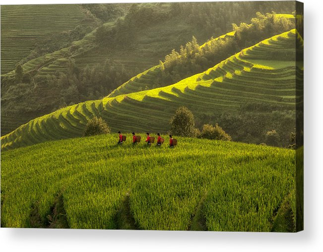 Landscape Acrylic Print featuring the photograph Five Ladies In Rice Fields by Max Witjes