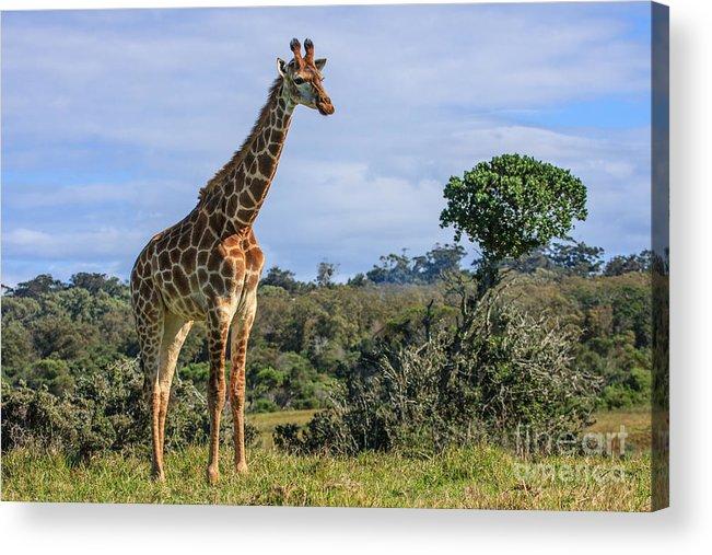 Giraffe Acrylic Print featuring the photograph Giraffe by Jennifer Ludlum