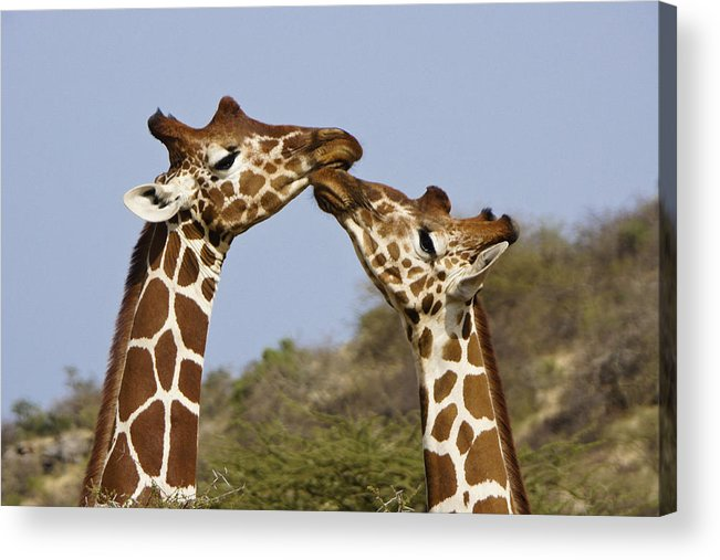 Africa Acrylic Print featuring the photograph Giraffe Kisses by Michele Burgess