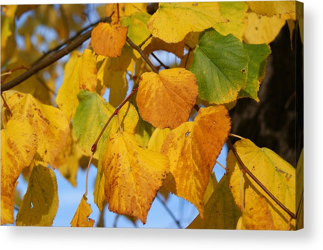 Autumn Acrylic Print featuring the photograph Golden by Carol Lynch