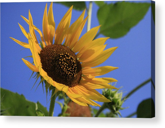 Flowers Acrylic Print featuring the photograph Good Morning by Alan Rutherford
