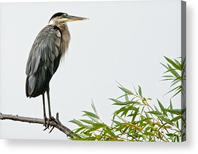 Nature Acrylic Print featuring the photograph Great Blue Heron in the Rain by Zayne Diamond Photographic