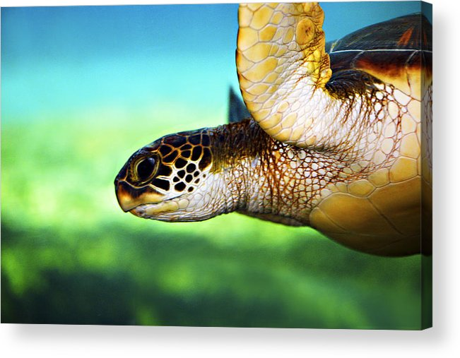 Green Acrylic Print featuring the photograph Green Sea Turtle by Marilyn Hunt