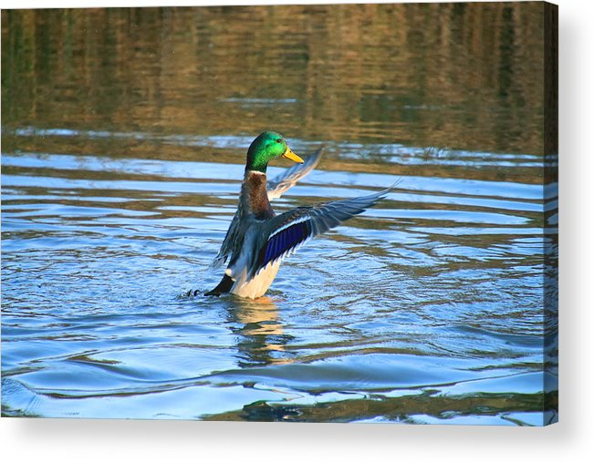Acrylic Print featuring the photograph Greeney Drying Off by Tony Umana