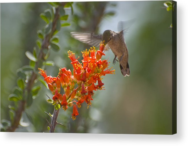 Hummingbird Acrylic Print featuring the photograph It Hums as it Eats by Richard Henne