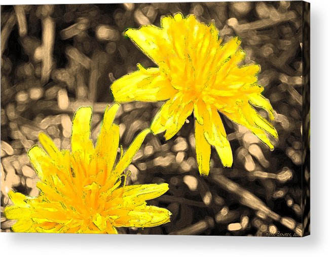 Dandylion Acrylic Print featuring the photograph Jim Dandy To The Rescue by Everett Bowers