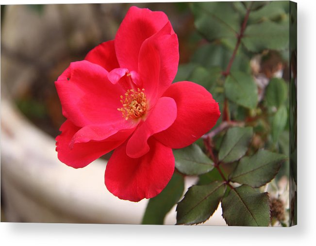 Floral Acrylic Print featuring the photograph Knockout Red by Paul Anderson