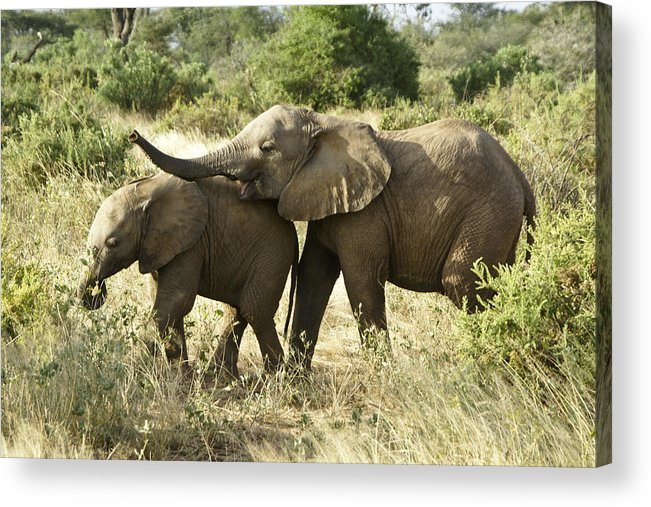 Africa Acrylic Print featuring the photograph Let's Play by Michele Burgess
