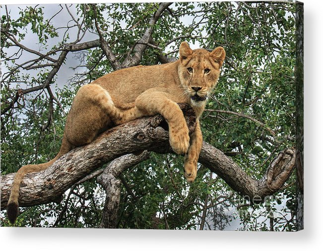 Wildlife Acrylic Print featuring the photograph Lion In A Tree by Jennifer Ludlum