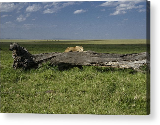 Africa Acrylic Print featuring the photograph Lion on a Log by Michele Burgess