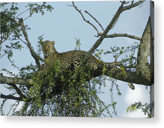 Africa Acrylic Print featuring the photograph Lounging Leopard by Michele Burgess