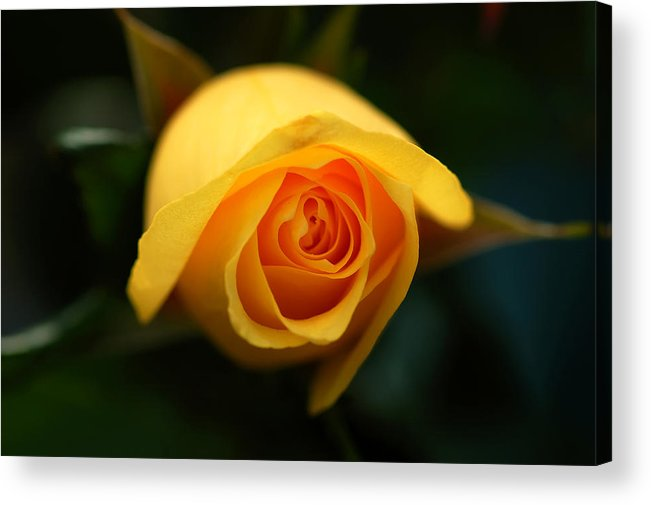 Yellow Acrylic Print featuring the photograph Mellow Yellow by Mandy Wiltse
