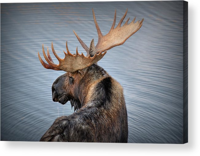 Moose Acrylic Print featuring the photograph Moose Drool by Ryan Smith