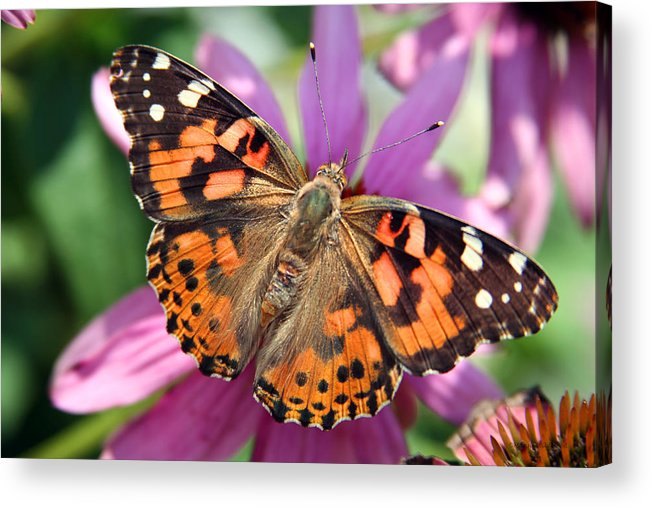 Painted Lady Acrylic Print featuring the photograph Painted Lady Butterfly by Margie Wildblood